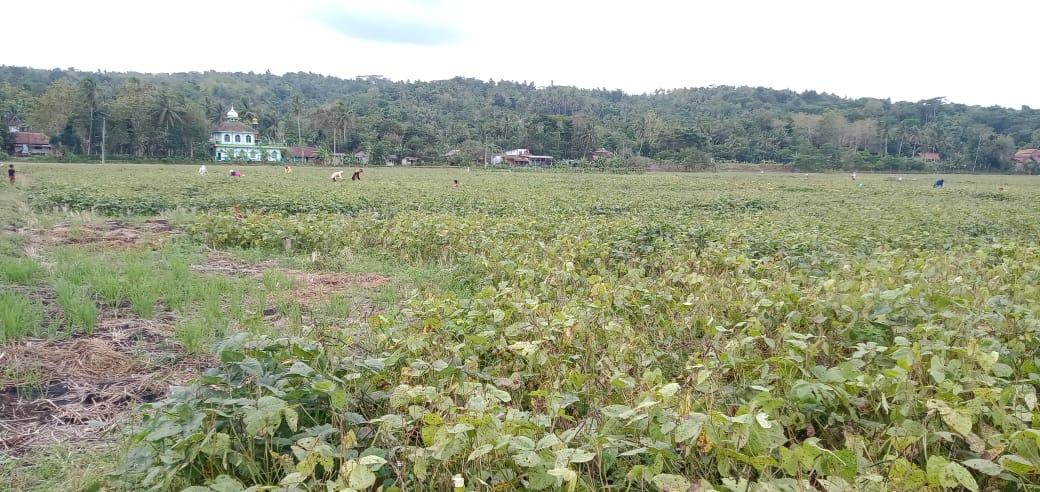 Panen kacang hijau Sidoagung Sruweng